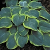 shop more<br>MEDIUM hostas