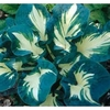 shop more<br>White-centered hostas