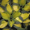 shop more<br>Yellow-centered hostas