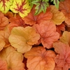 shop similar<br>HEUCHERA