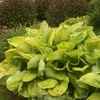 Sum and Substance<BR>HOSTA OF THE YEAR 2004