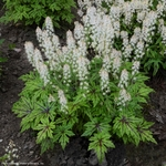 "tiarella Cutting Edge [10""]"