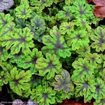 "tiarella Fingerpaint [9""]<BR>^^^ SOLD OUT ^^^"