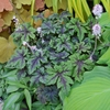 "tiarella Jade Peacock [10""]<br>^^^ SOLD OUT ^^^"