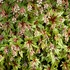"tiarella Sugar & Spice [8""]<br>^^^ SOLD OUT ^^^"