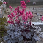 "heuchera Timeless Treasure [10""]"