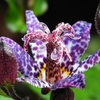 tricyrtis Dark Beauty