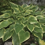 Victory<BR>HOSTA OF THE YEAR 2015