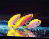 Barletts Anthias (Pseudanthias bartlettorum)