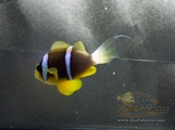 Blue Stripe Clownfish (Amphiprion chrysopterus)