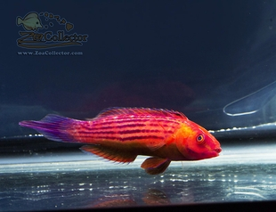 Earls Fairy Wrasse Diamond Tail