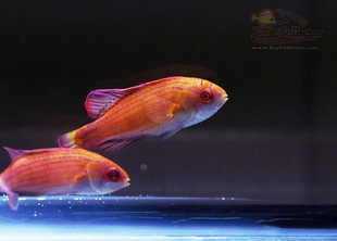 Eightline Flasher Wrasse Pair  (Paracheilinus octotaenia)