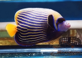Emperor Angelfish (Orange Tail) (Pomacanthus imperator)