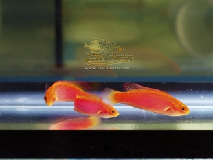 Flame Wrasse Trio Female