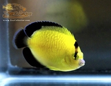Gold Flake Angelfish  (Apolemichthys xanthopunctatus)