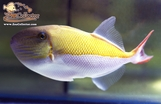 Golden Back Trigger (Xanthichthys caeruleolineatus)