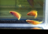 Golden Rhomboid Female Trio