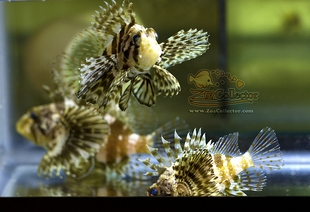 Hawaiian Green Lionfish (Dendrochirus barberi)