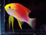 Hawaiian Ventralis Anthias (Pseudanthias hawaiiensis)