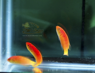 Hooded Fairy Wrasse Female Trio (Cirrhilabrus bathyphilus)