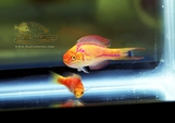 Johnsoni Fairy Wrasse Pairs and Trios (Cirrhilabrus johnsoni)