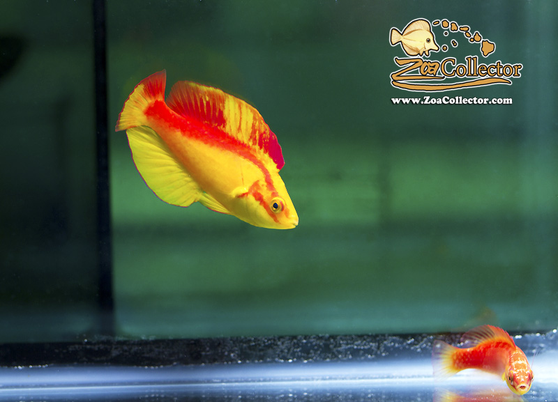 Ultra Mohawk Flame Wrasse Supermale Pair 1