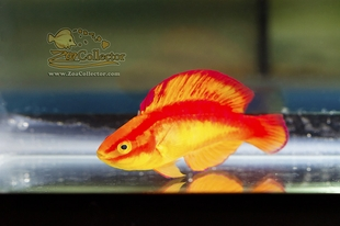 Mohawk Flame Wrasse Supermale