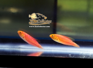 Pintail Fairy Wrasse Female Pair