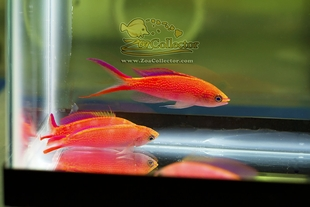 Princess Anthias Trio (Pseudanthias smithvanizi)