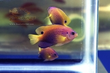 Princess Damselfish Trio (Pomacentrus vaiuli)