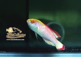 Red Margin Fairy Wrasse (Cirrhilabrus rubrimarginatus)