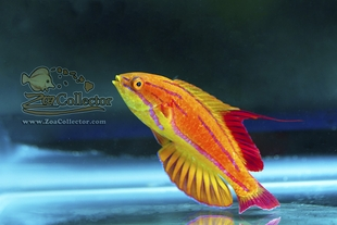 Red Tail Flasher Wrasse (Paracheilinus rubricaudalis)