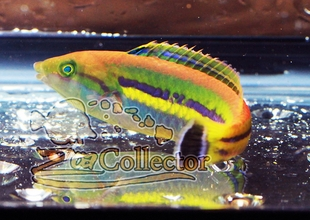 Small Tail Pencil Wrasse (Pseudojuloides cerasinus)