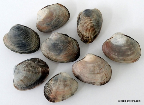 Willapa Baby Clams