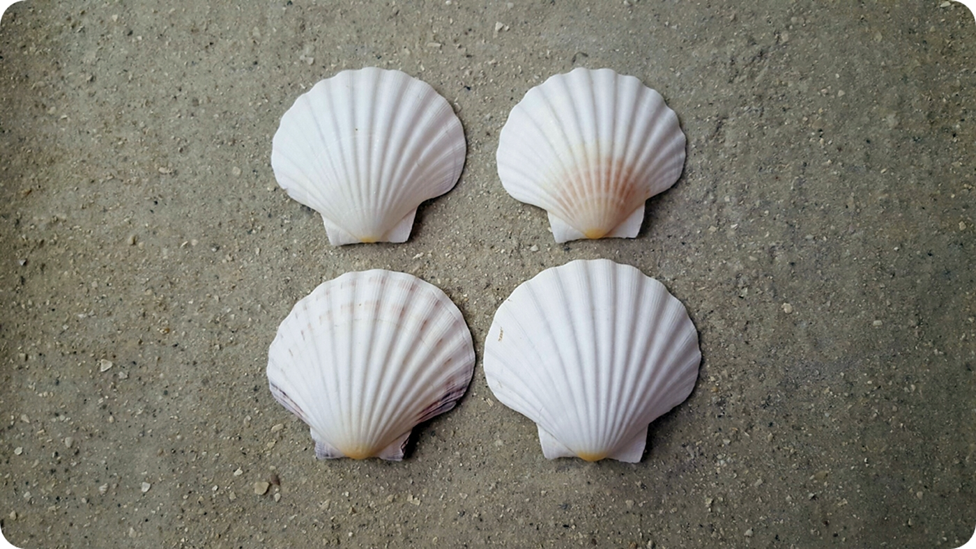 White wedding and craft seashells for Large seashells for crafts