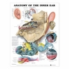 Anatomy of the Inner Ear