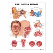 Ear, Nose and Throat