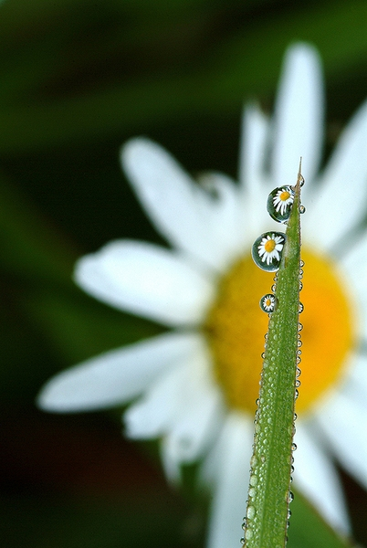 Daisy Dew Drop