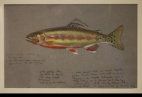 WEBER: GOLDEN TROUT