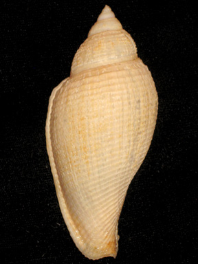 Athleta abyssicola