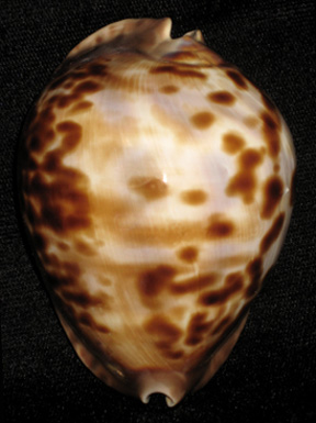 Cypraea thersites