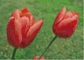 Cross Stitch PDF Pattern Red Tulips