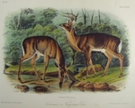 Audubon Wildlife Prints