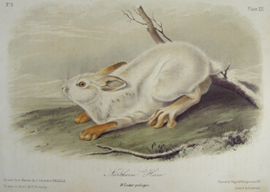 Northern Hare