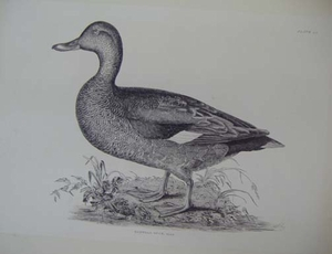 Plate LI - Gadwell Duck, male