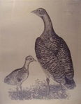 Plate LXIV - Female Bustard