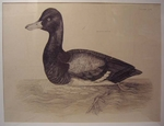 Plate LXVI - Scaup Duck
