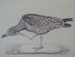 Plate XCVI - Herring Gull, Young