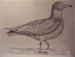 Plate XCVIII - Iceland Gull, Young