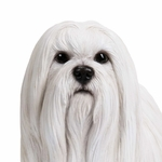 "14"" Maltese Dog Statue ""Ultra-Realistic"""